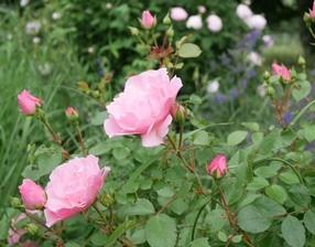 Rose Steinfurth